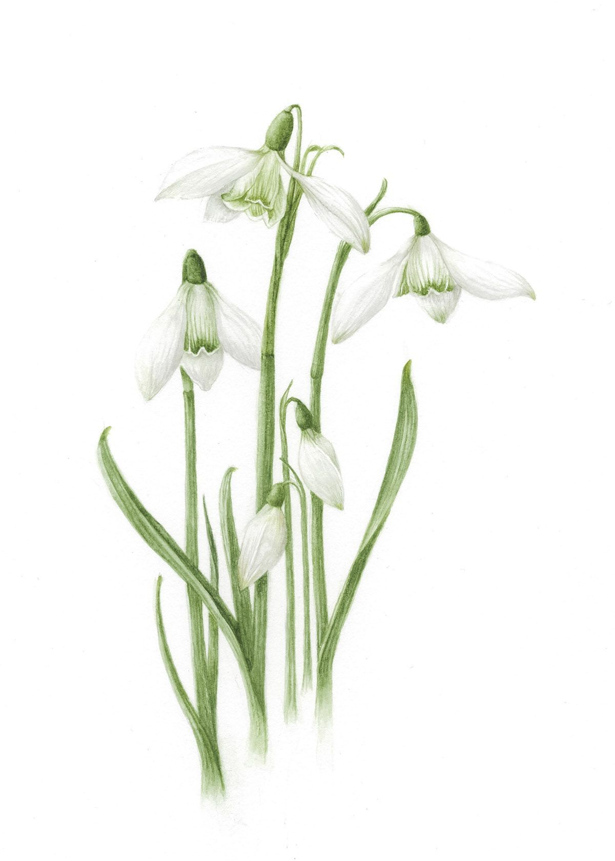 Snowdrop Flower Botanical Drawing Google Search Botanical Drawings Botanical Flowers