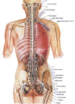 sistema nervoso muscular | medizina | Pinterest | Anatomía ...