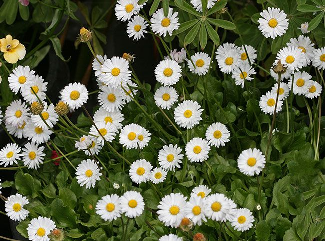 Bellis Perennis Quot English Daisy Quot These Easy To Grow