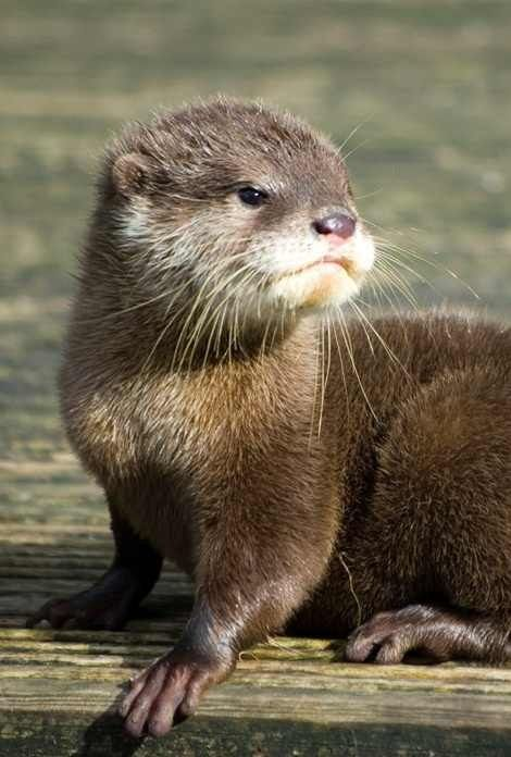 River Otter Otters Cute Baby Otters Otters