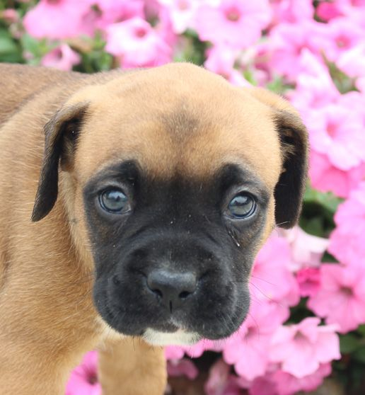 Darcy AKC Boxer puppies for sale near me (Grabill