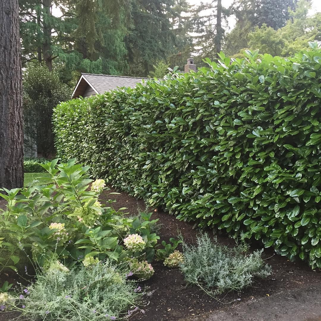 English Laurel Hedge Shown With Hydrangea And Lavender Beautiful Gardens Laurel Hedge English Laurel