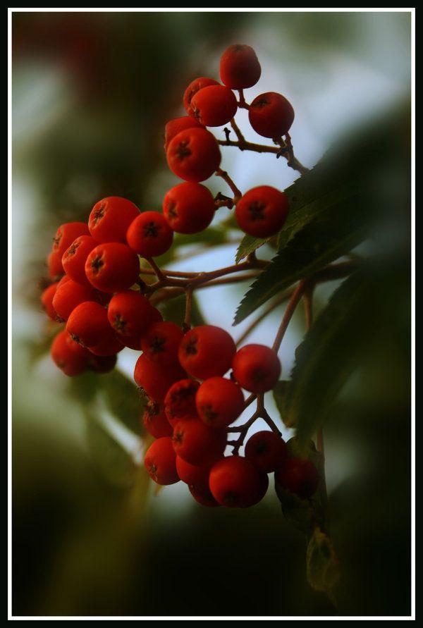 Rowanberry by momary.deviantart.com on @DeviantArt