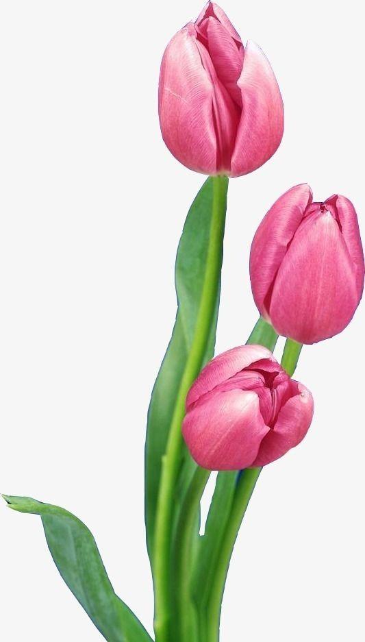 Tulipan Dibujo Rosado Pintura De Tulipan Tulipanes Dibujo Flores Pintadas