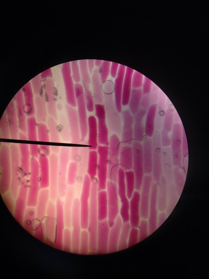 Red onion cells | Biology | Biology, Science