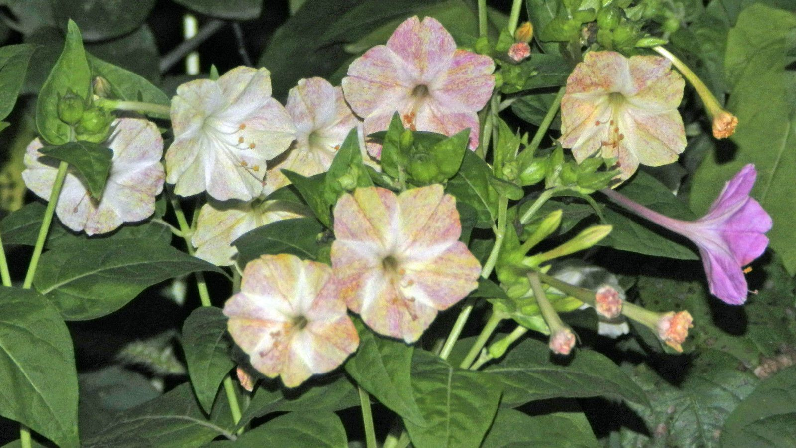 Seeds Mirabilis jalapa Jalap marbled flower beauty of the night mix colours