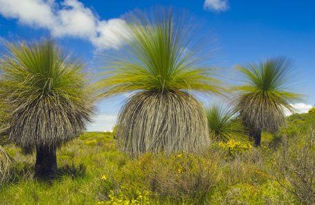 Xanthorrhoea preissii - West Australian grass trees.