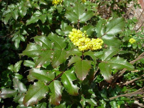 Mahonia Aquifolium Compacta Dwarf Oregon Grape Zone 5 Spring