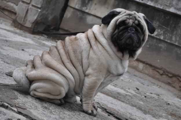 Finally The King Of The Rolls Wrinkly Dog Dogs Cute Pug Pictures