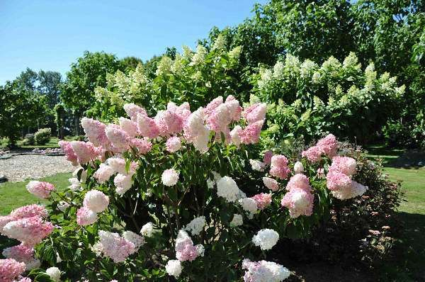 hydrangea paniculata vanille 600 398 hydrangea paniculata pinterest. Black Bedroom Furniture Sets. Home Design Ideas