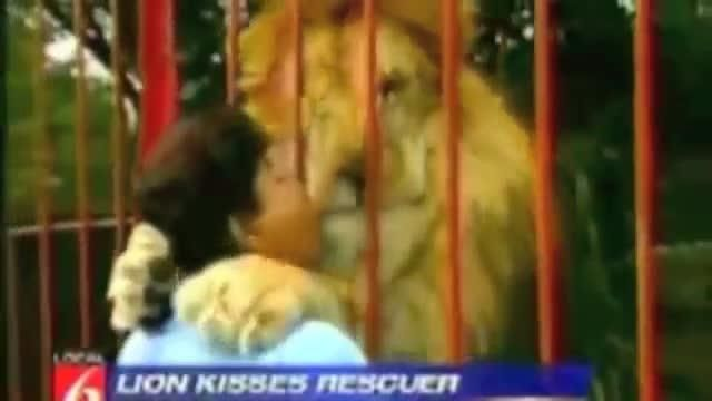In Colombia, a lady found a lion injuried in the forest, cured it and saved it and then transported in a zoo. After some time, she went and see him again: the lion clasped her!