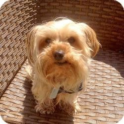 Fremont Ca Yorkie Yorkshire Terrier Mix Meet Astro A Dog For Adoption Http Www Ado Yorkshire Terrier Yorkshire Terrier Rescue Yorkie Yorkshire Terrier