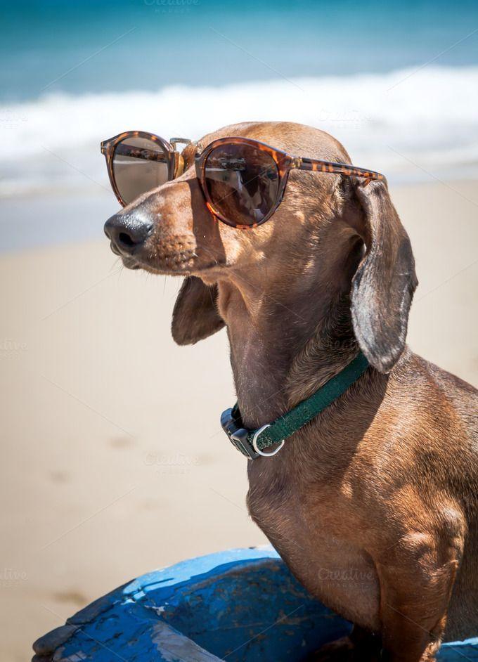 Dachshund dog wearing sunglasses on