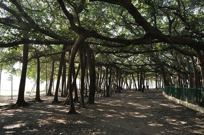 The Great Banyan Tree Amusing Planet Banyan Tree Beautiful Tree Tree