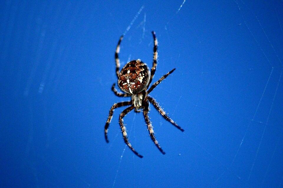 La belle araignée