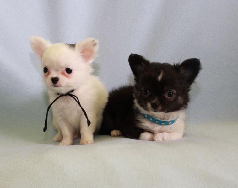 Extra Mini Chihuahua Welpen Ruden Mannlich Langhaar Superlieb Chihuahua Chihuahua Welpen Welpen