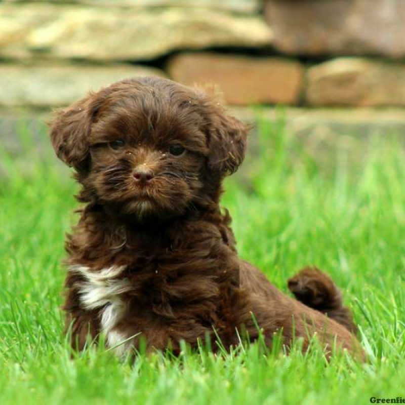 Shih Poo Puppies For Sale Shih Poo Breed Info Greenfield Puppies Shih Poo Puppies Shih Poo Havanese Puppies For Sale