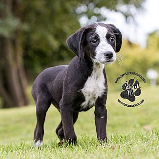 Beagle Mix Puppy For Adoption In Cincinnati Ohio Ash Beagle Mix Puppies Beagle Beagle Mix