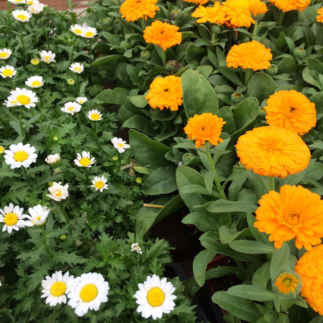 These winter blooming annuals calendula and daisy attract these winter blooming annuals calendula and daisy attract beneficial insects to your garden be izmirmasajfo