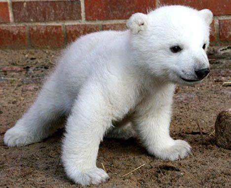 Seven Of The Darn Cutest Baby Animal Photos On The Web Baby Polar Bears Cute Baby Animals Cute Polar Bear