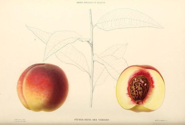 https://flic.kr/p/zS6X31   Fruits & Vegetables-26 - 117-Peach, 005