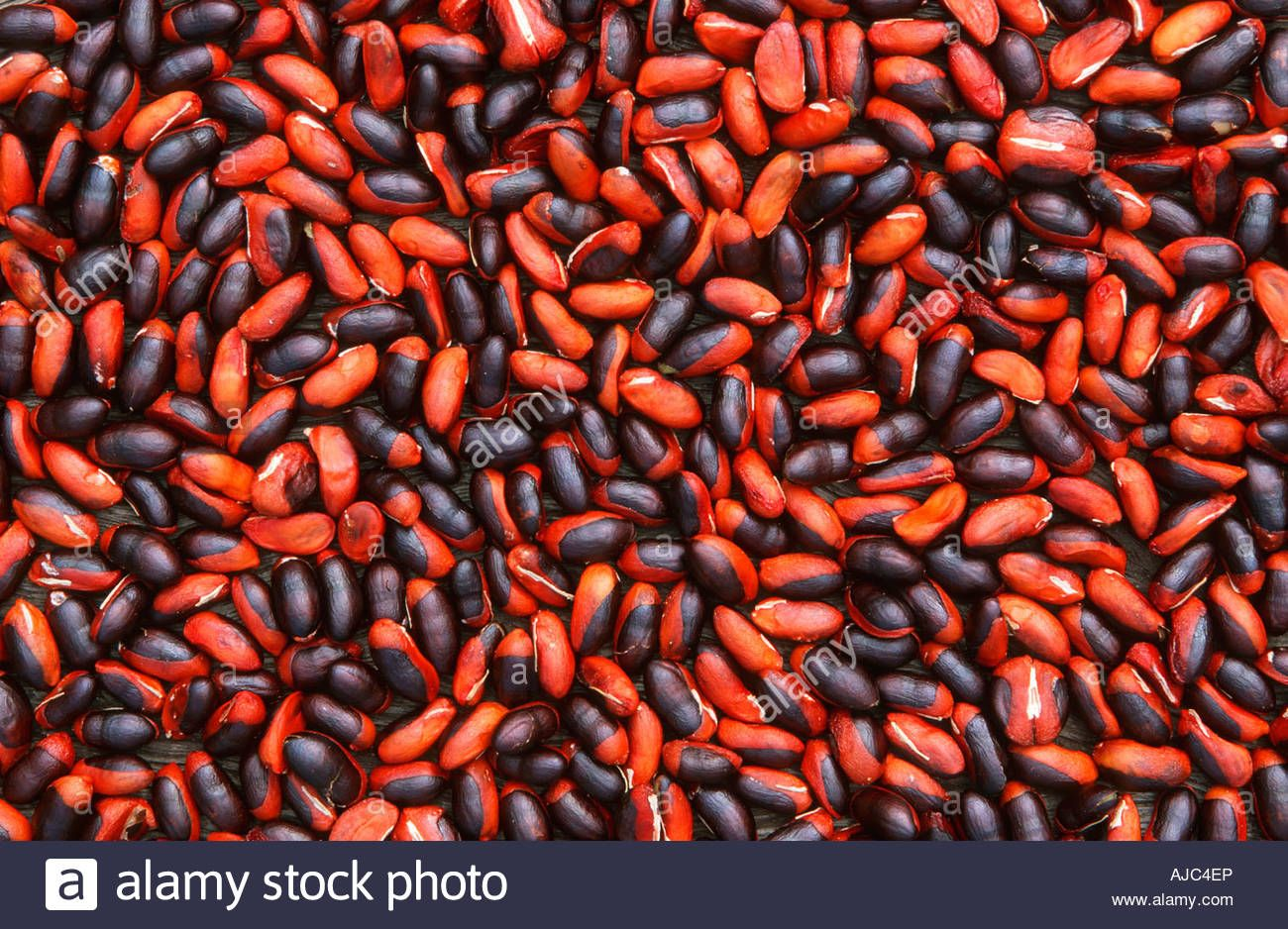 Download this stock image: Portrait of Natal Mahogany Seeds - AJC4EP from Alamy's library of millions of high resolution stock photos, illustrations and vectors.