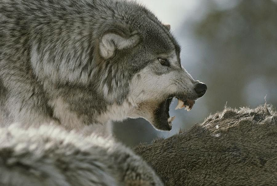 фото с видом злых волков следует тщательно изучить