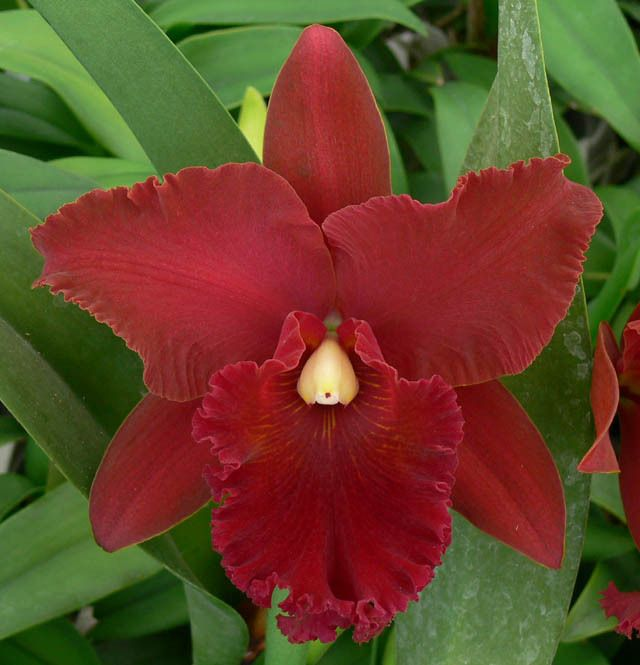 """Odom's Orchids, Inc. - Pot. Shinfong Beauty 'Garnet Girl'., $40.00 (Pot. Shinfong Lisa x Blc. Chia Lin). Rich brick-red 5.5"""" full-shaped flowers with a slightly darker lip. Velvety texture and heavy substance. The almost pure white column is very striking against the dark flower. Fragrant."""