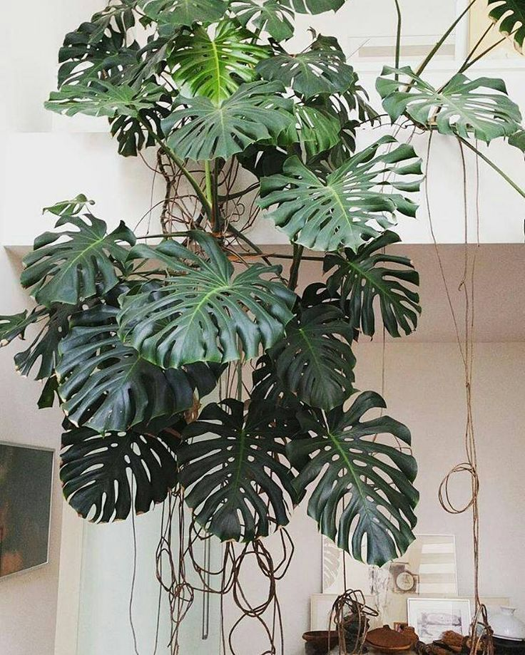 L o v e plants indoor plants philodendron monstera