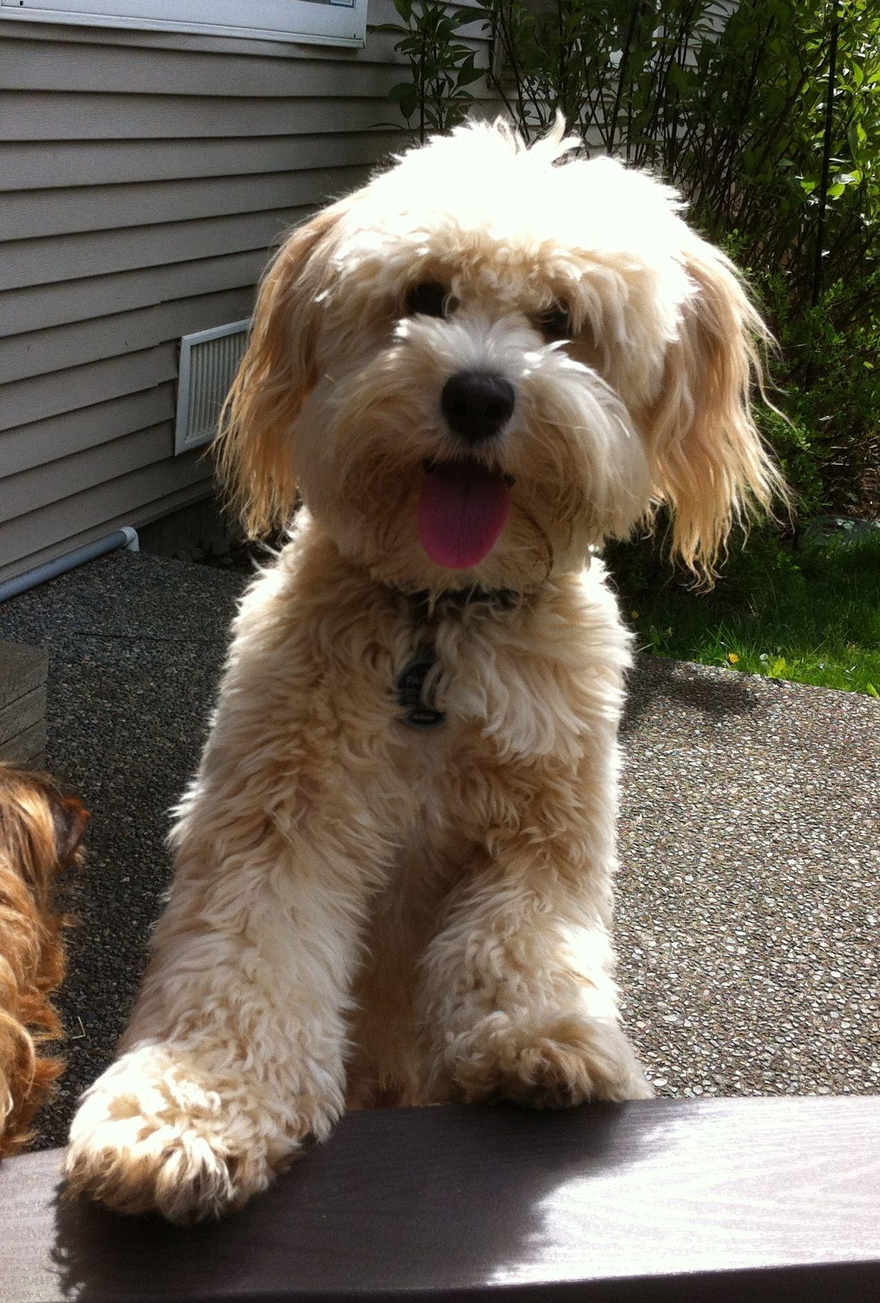 Schnoodle Possible Pets Pinterest