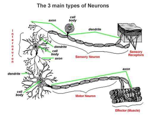 There are three main types of neurons. | College Life ...