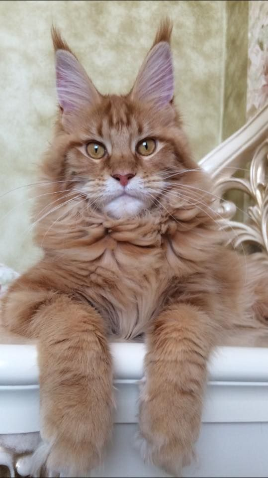 6 Cats Who Think They Are Dogs Cat Breeds Maine coon
