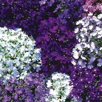 Lobelia Low Growing Ground Cover Plant Seed Outside Oasis