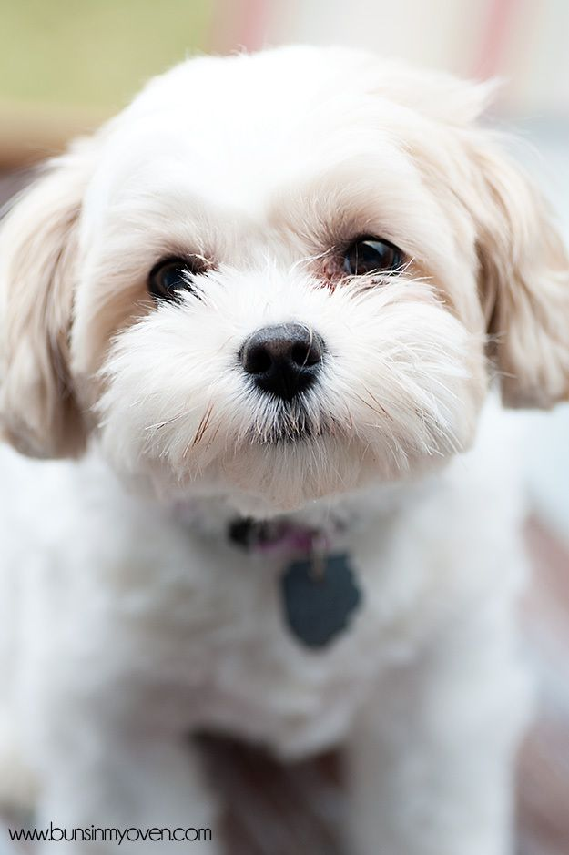 Zuchon Shih Tzu Bichon Mix Awww Like A Cleaner Whiter Version