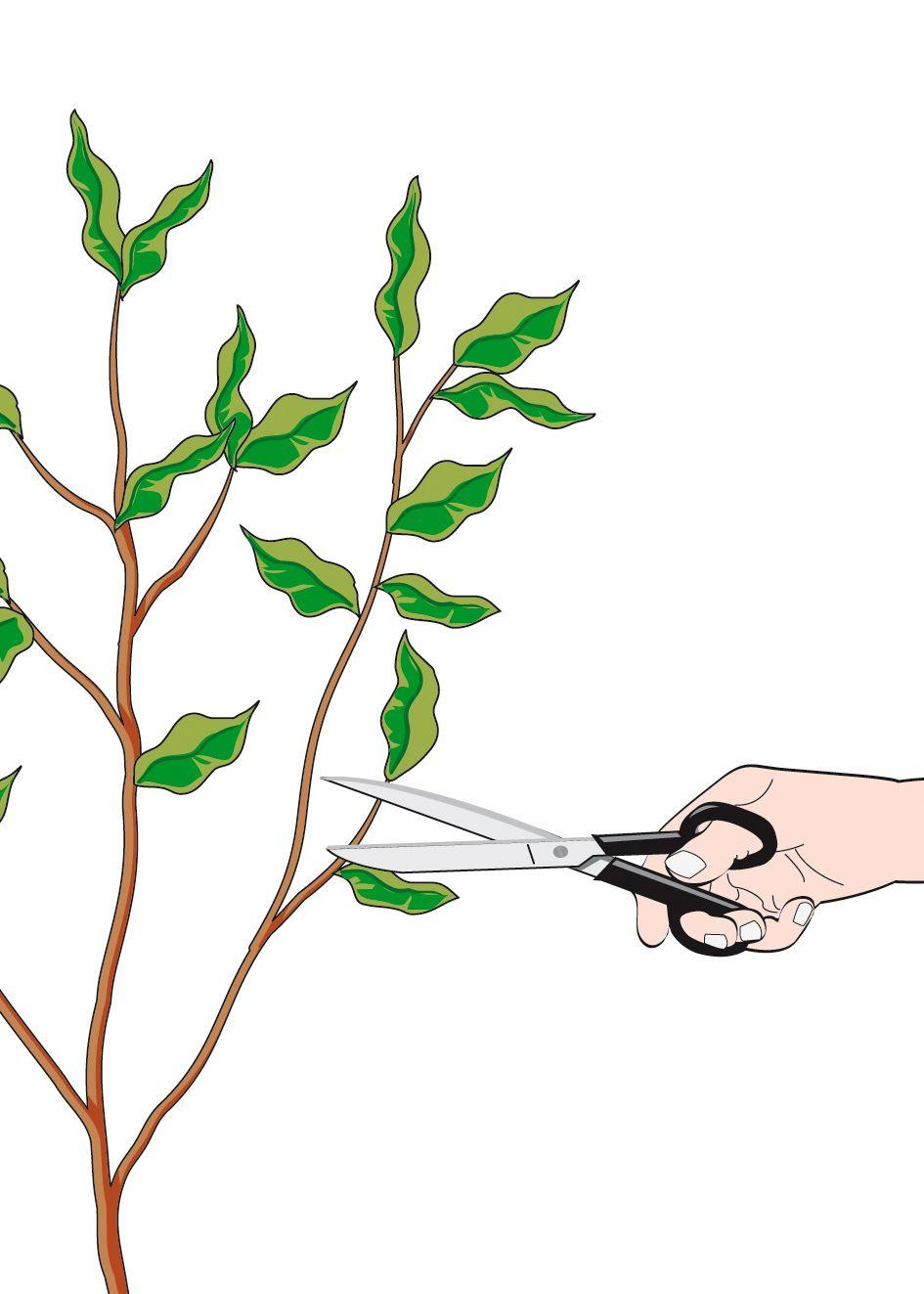 Potare Il Ficus Elastica pin su piante