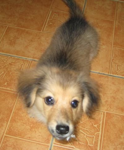 Dachshund Pomeranian Mix Photos Dachshund Pomeranian Mix