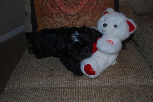 Shih Tzu Puppy For Sale In Pensacola Fl Adn 48794 On Puppyfinder