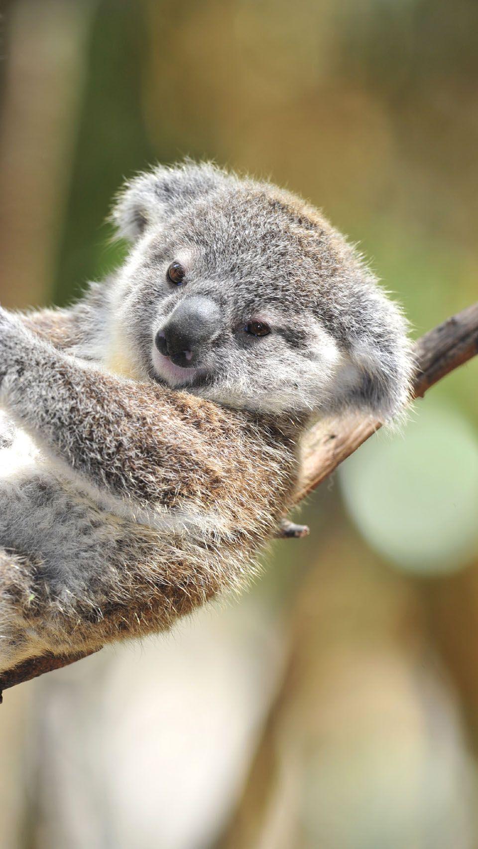 Cute Baby Koala OriginalSuper Cute Baby Koala iPhone