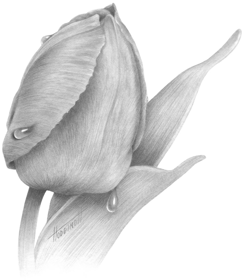 tulip pencil floral drawings Yahoo Image Search Results