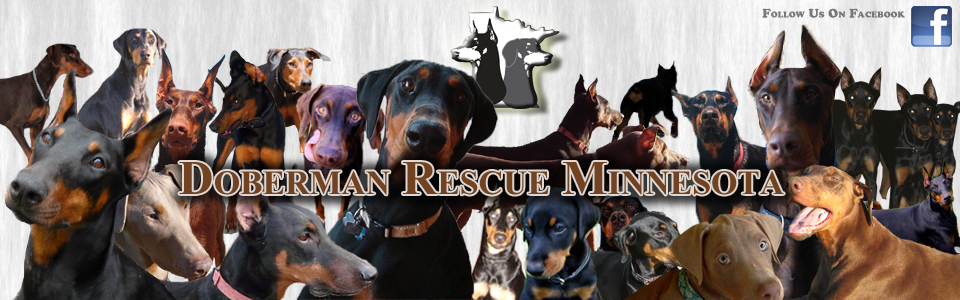 Doberman Adoptions Doberman Rescue Doberman Doberman Adoption