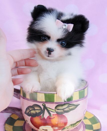 Teacup Pomeranian Royal Teacup Puppies Houston Tx 77049 Pomeranian Puppy Teacup Pomeranian Puppy For Sale Pomeranian Puppy