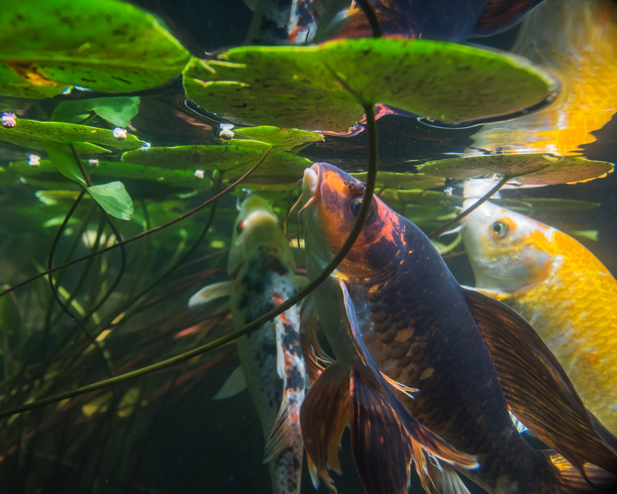 Image result for under water images of a koi pond