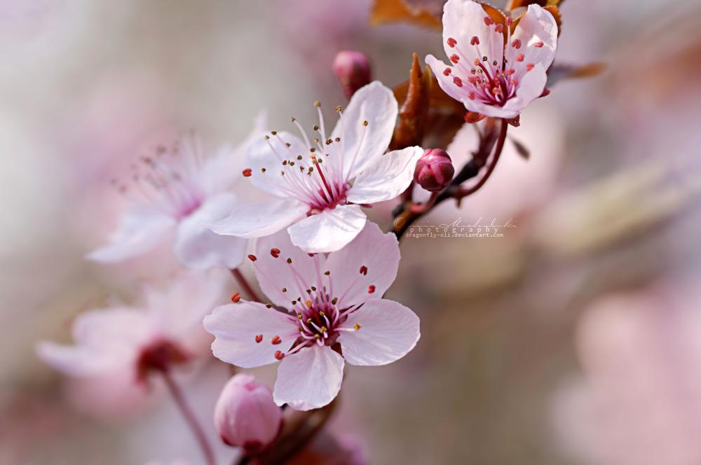 Cherry Blossom Spring Blossom Cherry Blossom Spring Blossom