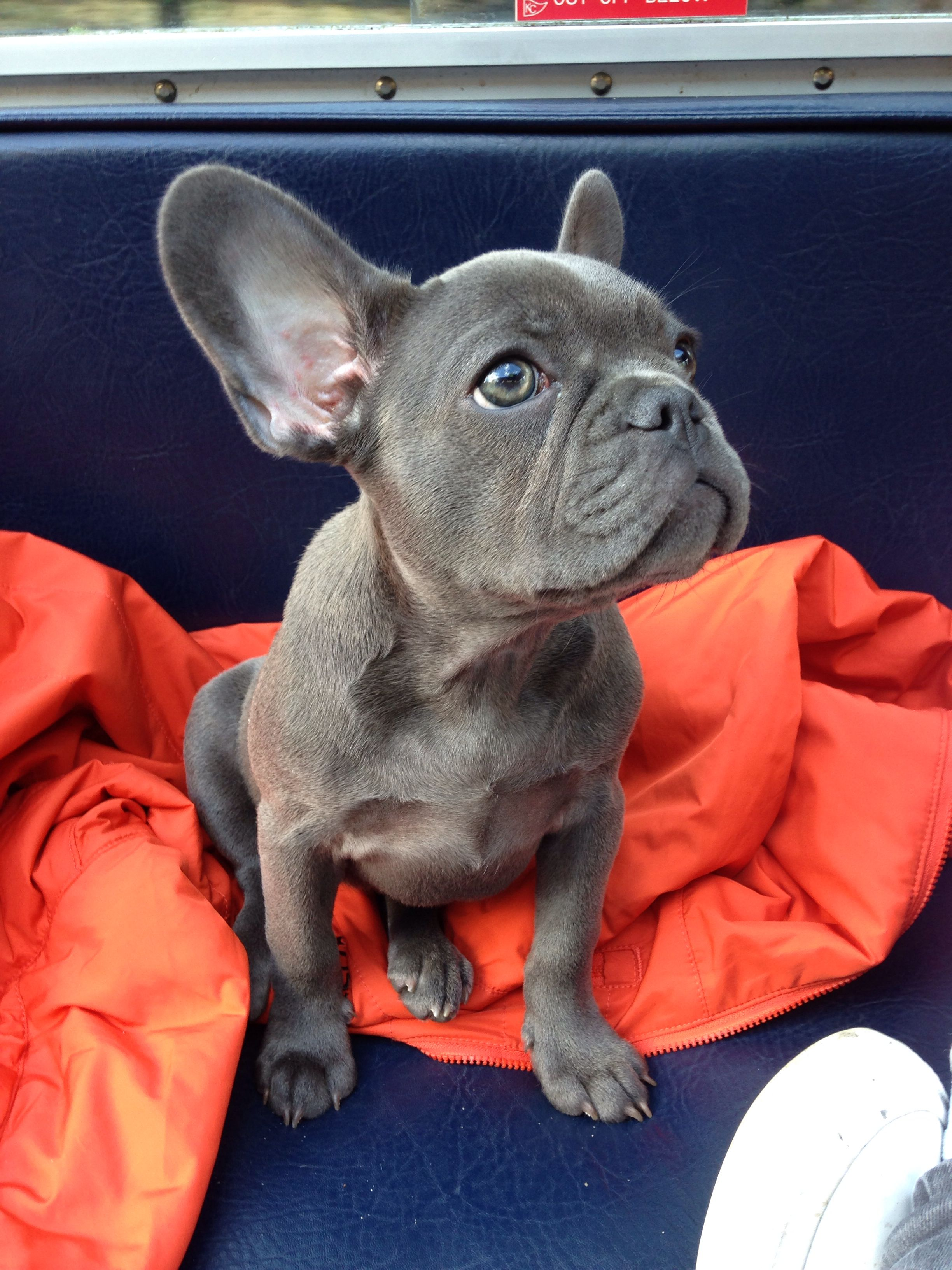 My Blue Frenchie The Most Beautiful Dog Ever With Images
