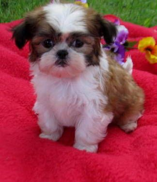 Pin By Cathy Young On Lovable Furry Friends Shih Tzu Puppy