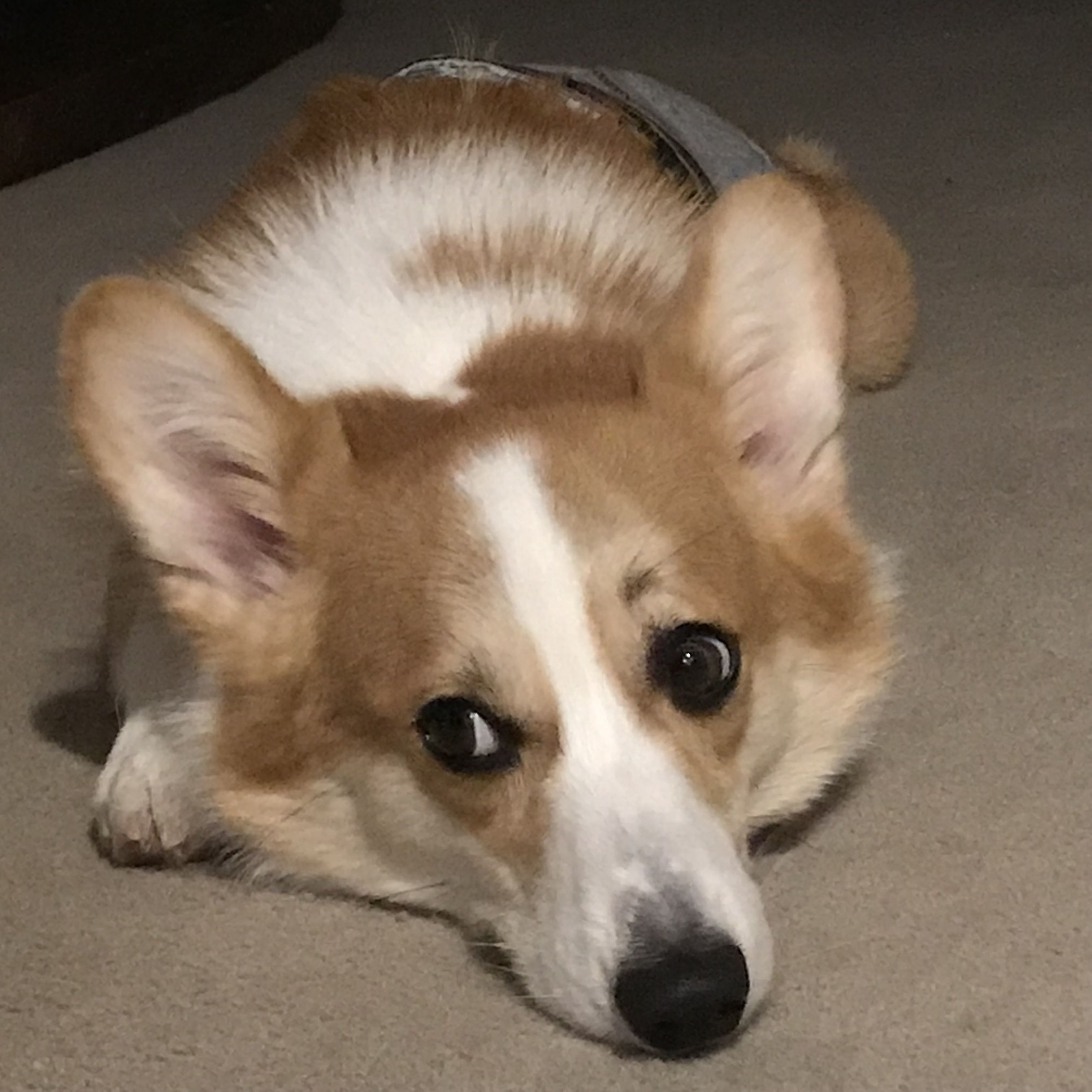 コーギー2歳のケアヒです インスタグラムフォローしてね I M Pembroke Welsh Corgi 2 Years Old Boy Please Follow Me Corgi Instagram Photo Photo And Video
