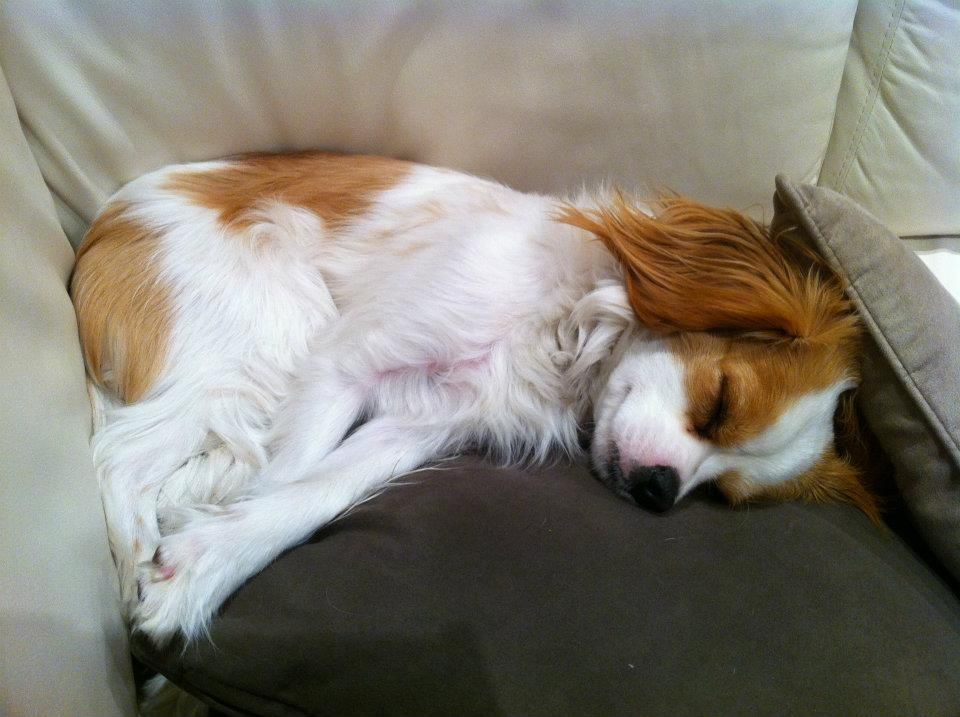 Pin By Marlys Pederson On Cavaliers Corgi Animals Dogs