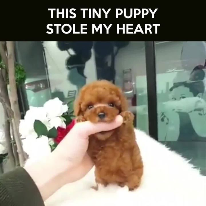 Tag A Dog Lover To Melt Their Heart Credit Rolly Teacup Puppies Teacup Puppies Dog Lovers Puppies