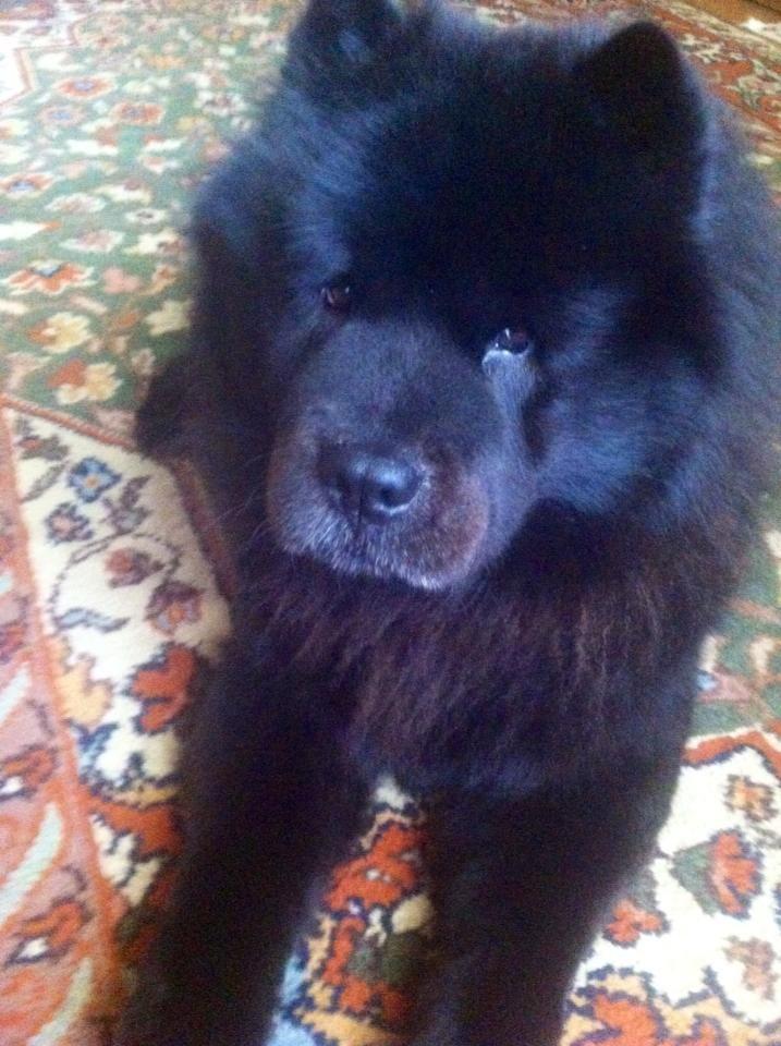 What A Handsome Dog I Love Chows Sooooooooooooo Much Dog Care