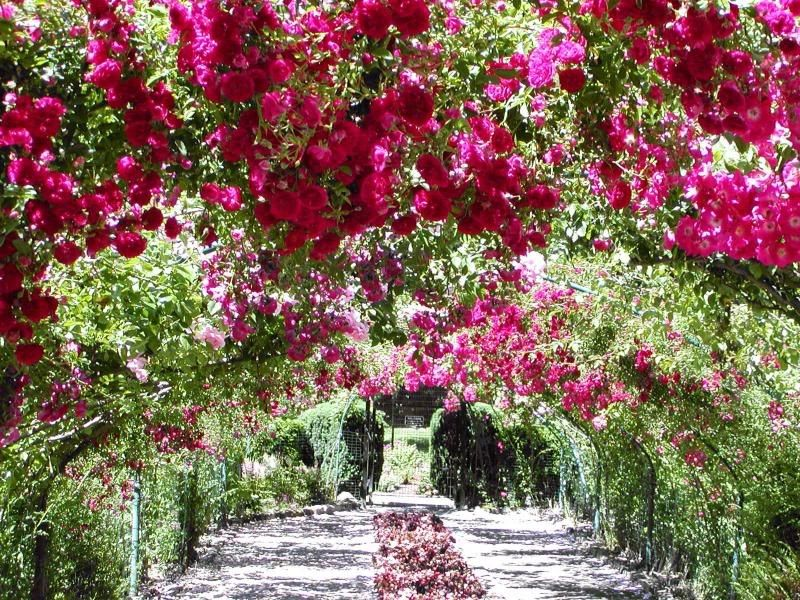 Pink Rose Garden Wallpaper https://www.google.it/blank.html | beautiful roses garden